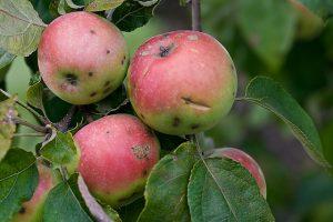 fruta biologica