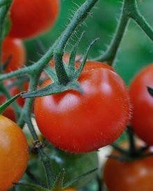 Benefícios dos tomates