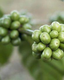 Propriedades do café verde